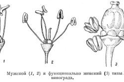 Разновидности цветков винограда