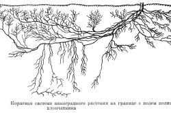 Корневая система виноградного куста
