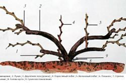 Основные элементы куста винограда