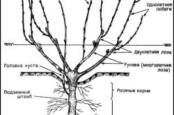 Схема куста винограда