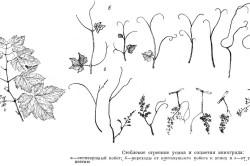 Схема соцветия винограда