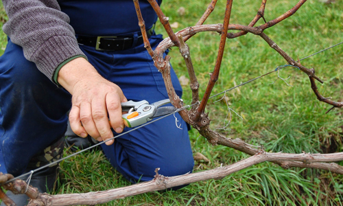 Обрезка виноградного куста