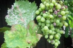 Одна из болезней винограда - оидиум, на листьях и ягодах