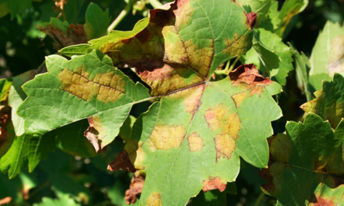 Пятна на виноградных листьях