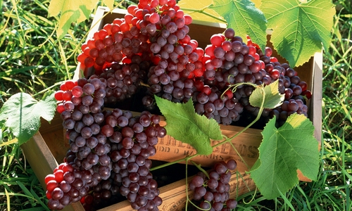 Проблема болезней винограда