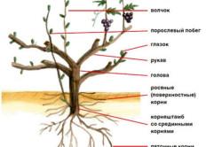 Растение винограда (схематично)