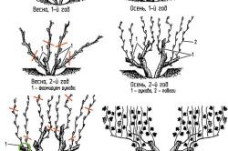 Схема подрезки винограда и формирование куста