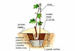 Схема посадки винограда с использованием золы