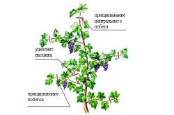 Схема прищипывания и пасынкования винограда