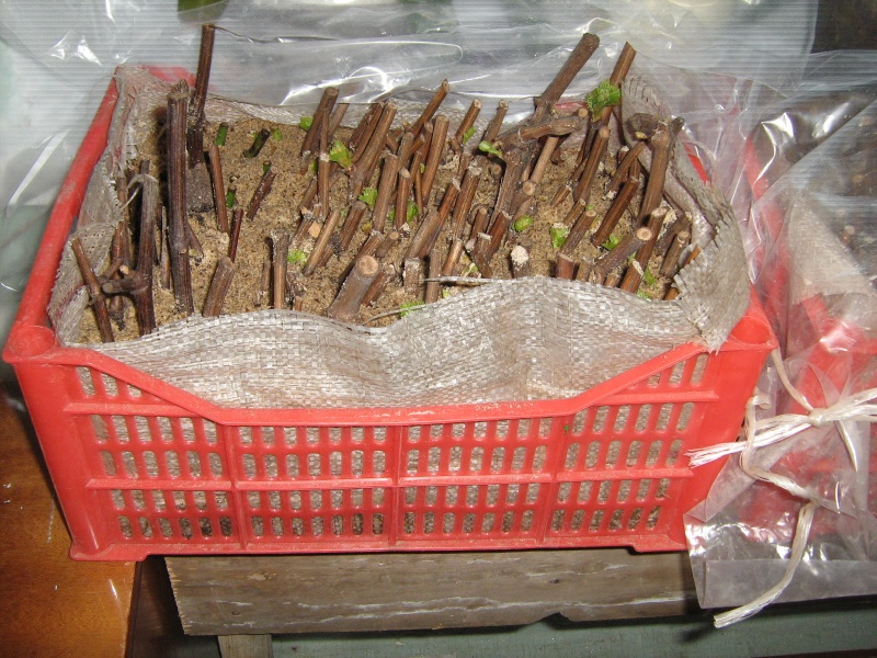 Выращивание винограда черенками в опилках