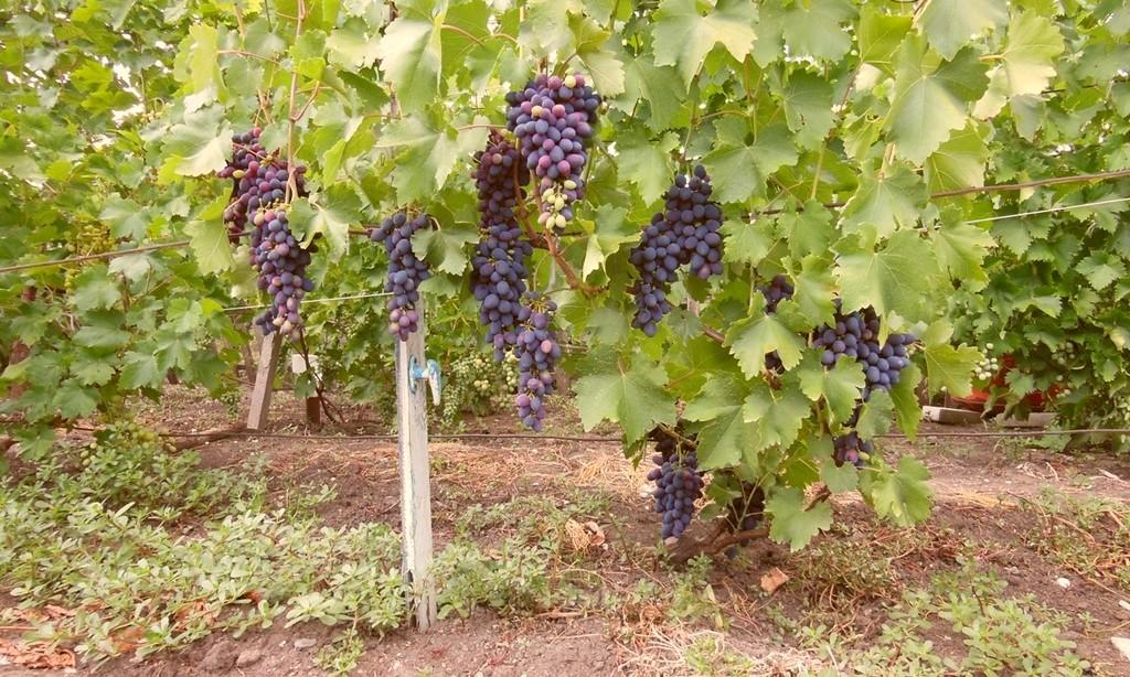 Виноград выращивание и уход в августе 2
