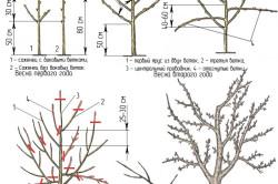Схема обрезки плодоносящего дерева