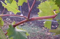 Пасынки винограда
