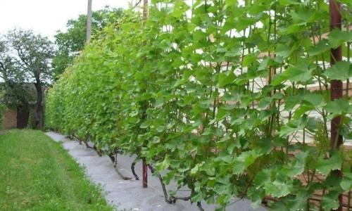 Подвязывание винограда на шпалеру