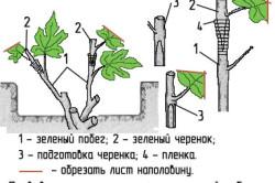 Схема летней прививки винограда