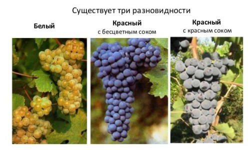 Основные разновидности винограда