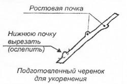 Схема подготовки черенка для укоренения