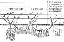 Схема многократной непрерывной отводки без отделения от маточного куста