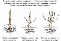 Схема обрезки винограда 1-2-3 года