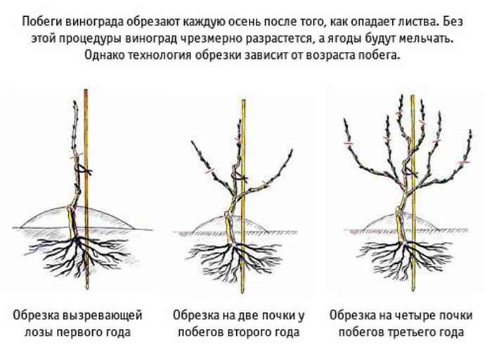 Выращивание винограда и обрезка 827