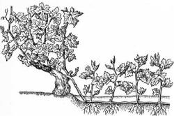 Схематическое изображение процесса размножения винограда зелеными отводками