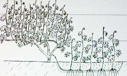 Выращивание привитых саженцев из горизонтальной отводки
