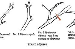 Техника обрезки винограда