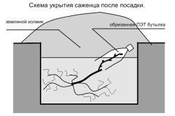 Схема укрытия саженца после посадки