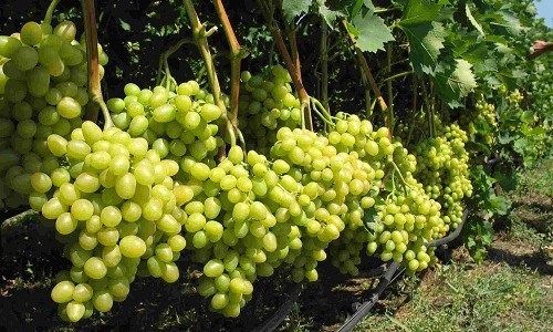 Расстояние между кустами винограда