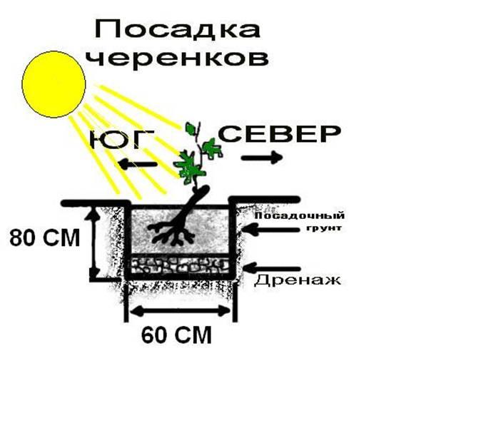 Иберис цветы выращивание 71
