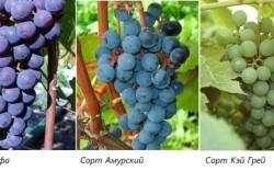 Виды зимостойких сортов винограда