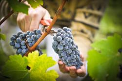 Сбор винограда для вина