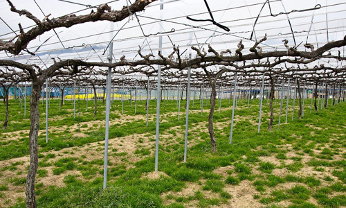 Выращивание винограда на шпалерах